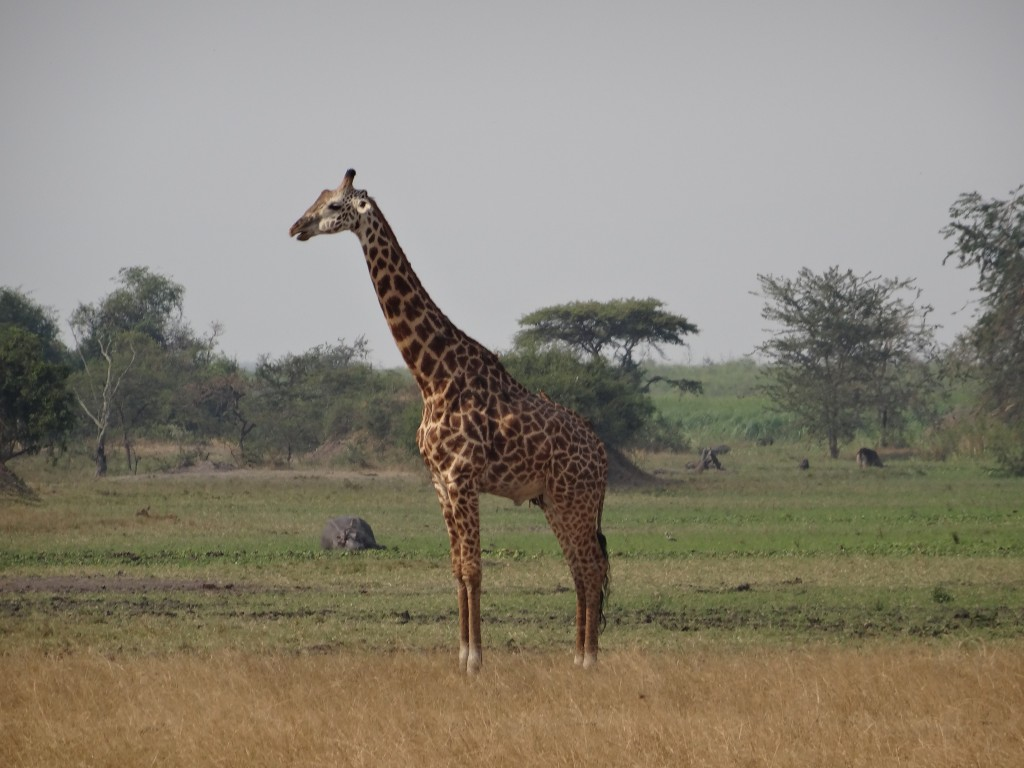 Getting kind of up close and personal with lone giraffe at Akagera National Park.